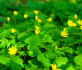 Buttercups Meadow Stock Photography - 14174232