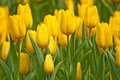 Tulip Royalty Free Stock Images - 14174599
