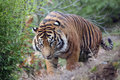 Tiger Stock Photography - 14180152
