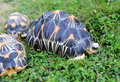 The Radiated Tortoise Stock Images - 14187514