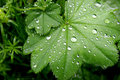 Green Leaves With Water Drops Stock Photography - 1426412