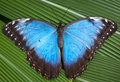 Blue Butterfly Royalty Free Stock Photos - 14200488