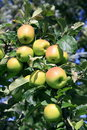 Apples On The Tree Stock Photography - 14203032