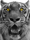 Tiger Head Stock Photography - 14203252