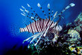 Lionfish Royalty Free Stock Image - 14221376