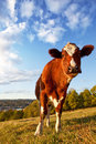 Funny Cow Royalty Free Stock Photography - 14229647