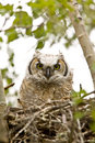 Great Horned Owl Stock Photo - 14233580