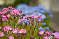 Forget-me-not Flowers Royalty Free Stock Images - 14249079