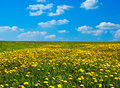 Field Of Blossoming Dandelions Stock Image - 14251531