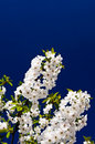 Nice Image Of Blooming Cherry. Stock Photos - 14256883