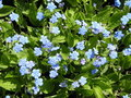 Forget-me-not Flower Royalty Free Stock Photography - 14269147