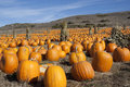 Field Of Pumpkins Stock Images - 14278764