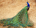 Peacock Stock Photos - 14279493