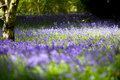 Carpet Of Bluebell S Royalty Free Stock Image - 14282596