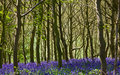 Bluebells In Woodland Royalty Free Stock Photo - 14292855