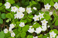 Common Wood Sorrel Stock Images - 14295444