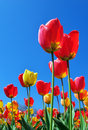 Tulips And Sky Royalty Free Stock Image - 14296516