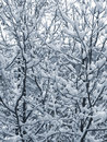 Snow On The Branches Royalty Free Stock Photo - 1439535