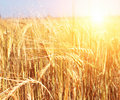 Crop Of Rye Stock Images - 14301824