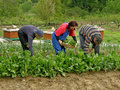 Man And Two Women Picking Chard Royalty Free Stock Images - 14302189