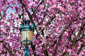 Spring Blossoms Royalty Free Stock Photo - 14325725