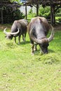 Thai Buffalo Stock Photography - 14336372