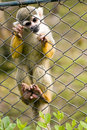 Common Squirrel Monkey Stock Photography - 14352342