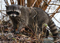 Raccoon In The Bushes Stock Photo - 14353610