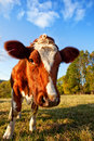 Curios Cow Royalty Free Stock Image - 14364176