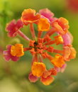 Orange And Pink Flower Royalty Free Stock Photos - 14373058