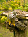 Common Squirrel Monkey Stock Images - 14378184