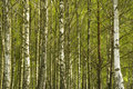 Trunks Of Birches Stock Image - 14385301