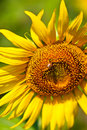 Sunflower And The Bee Royalty Free Stock Photography - 14397397