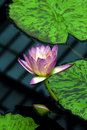 Water Lilly Stock Image - 1447871