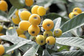 Growing  Loquat  Stock Images - 14406084
