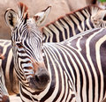 Cute Burchell Zebra From A Safari Zoo Stock Image - 14414451