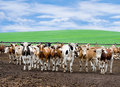 Herd Of Beef Cattle At Farm Stock Photography - 14415802