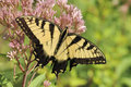 Eastern Tiger Swallowtail (Papilio Glaucus) Stock Photography - 14440202
