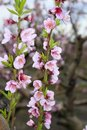 Almond Spring Flowers On Tree Branch Royalty Free Stock Images - 14444529