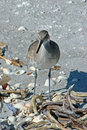 Willet Royalty Free Stock Photo - 14484965