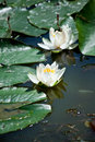 White Water Lily Royalty Free Stock Photo - 14489485