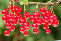 Redcurrant Stock Images - 14492324