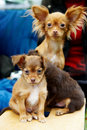 Dog Toy Terrier And Two Of Her Funny Puppy Stock Image - 14495221