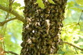 A Swarm Of Bees On An Oak Tree Stock Image - 14508211