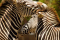 Zebras Kissing Stock Image - 14522011