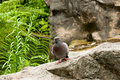 Pigeon On A Rock Stock Image - 14530521