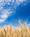 Golden Wheat Field Stock Images - 14568934