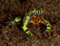 Oriental Fire Bellied Toad Defensive Pose, China Royalty Free Stock Photos - 14585078