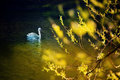 Swan In The Spring Pond Royalty Free Stock Photography - 14586617
