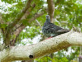 Pigeon On A Tree Branch Stock Photography - 14601032